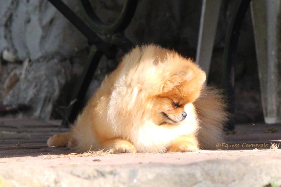 pomeranian odpoczywający po spacerze