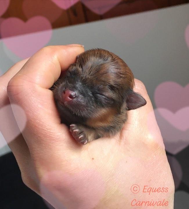 pomeranian newborn puppy