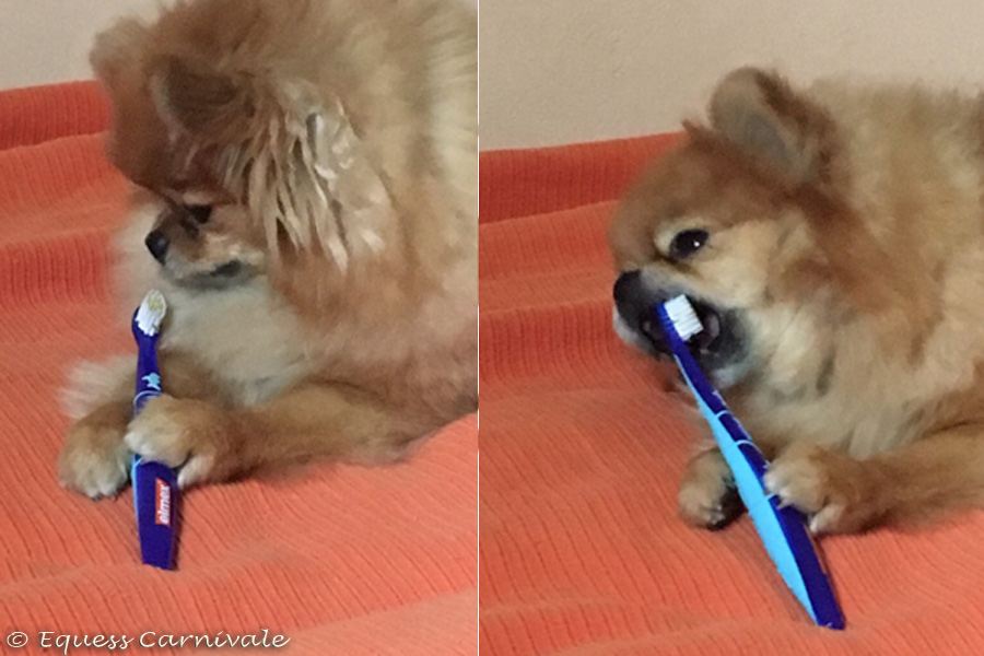 pomeranian myje zęby
