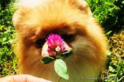 pomeranian wąchający kwiat