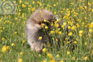 pomeranian-w-kwiatach-1